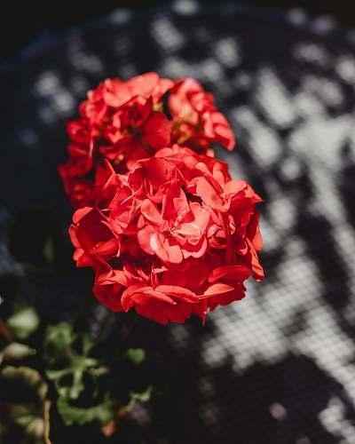 blossom red-petaled flowers flower