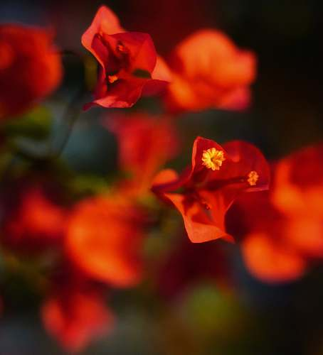 flower red-petaled flowers in selective focus photo blossom