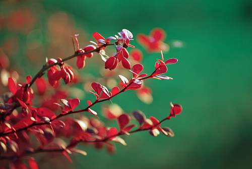 flower red plants in selective focus photography blossom