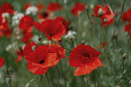 blossom red poppy flower field flower