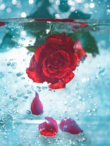 flower red rose underwater rose
