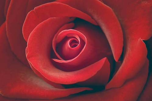 flower red rose wallpaper rose