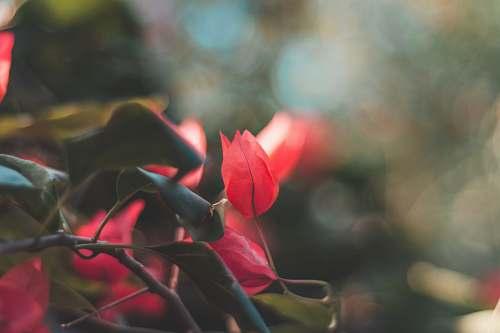 flower red roses blooming bloom