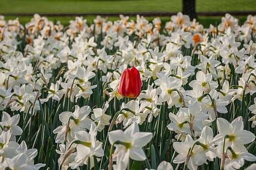 photo flower red tulip and white flowers field blossom free for commercial use images