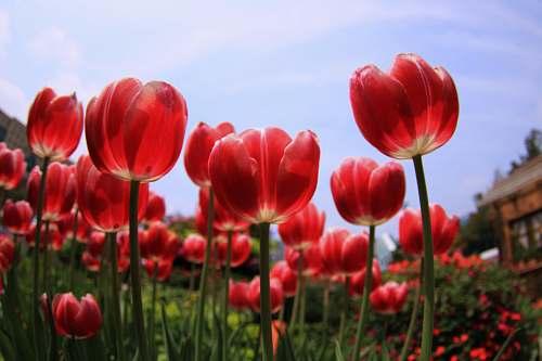 flower red tulips tulip