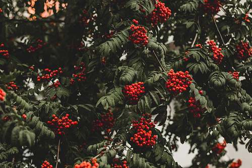 bush round red fruit lot vegetation