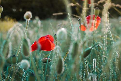 flower selective focus photography of several common poppy flowers poppy