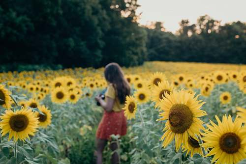 blossom woman surrounded sunflowers flower