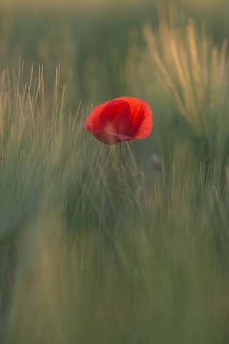 blossom red poppy flower in bloom at daytime flora