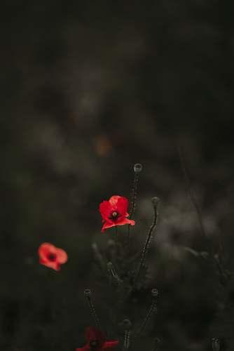blossom selective color photo of red broad petaled flower flower