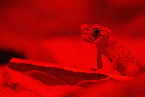 australia gecko on red background lizard