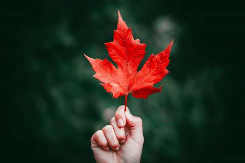 maple leaf person holding maple leaf leaf