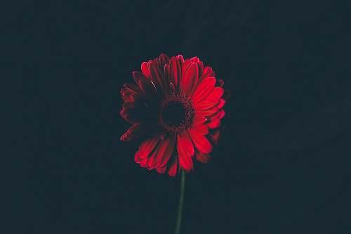 flower red flower in shallow focus lens petal