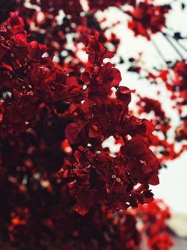 blossom red leaves flower