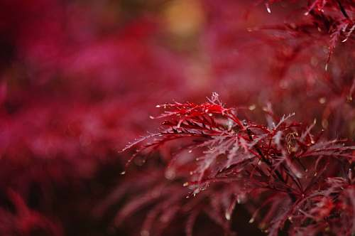 plant red petaled flower closeup photography autumn