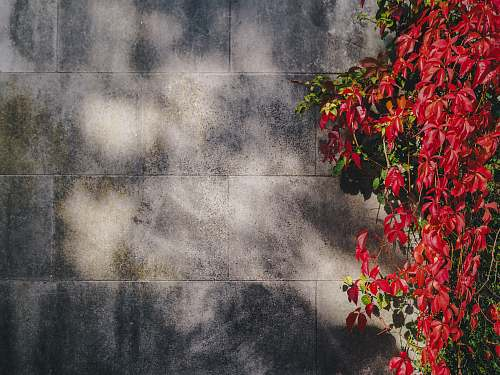 photo plant red petaled flowers near gray concrete wall wall free for commercial use images