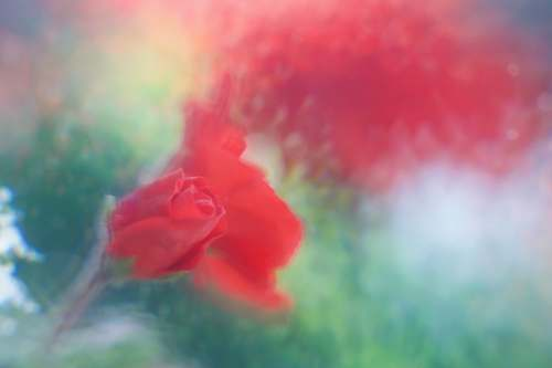 flower red rose closeup photography blossom