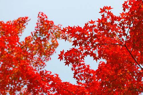 autumn shallow focus photography of red leafed tree tree