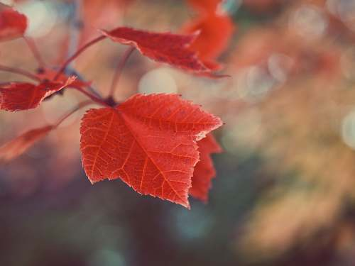 leaf tilt shift photography of a red maple leaf tree