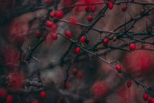 night red cherry fruits dark