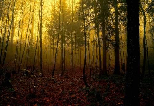 light silhouette of pine trees vegetation