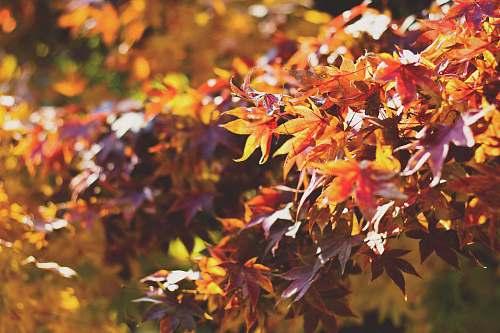 maple autumn plant leaf