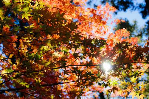 maple maple tree under clear skies at daytime japan