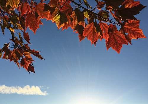 leaf orange maple leaves during daytime autumn