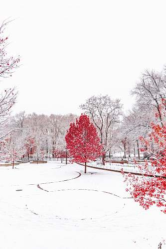 snow snow-covered park with red trees red
