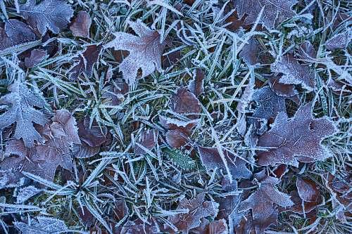 ice maroon-leafed plants outdoors