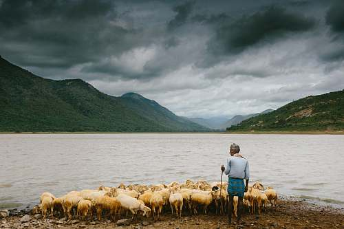 people man holding stick and standing near herd of sheep on the seashore human
