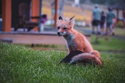 people orange fox wildlife