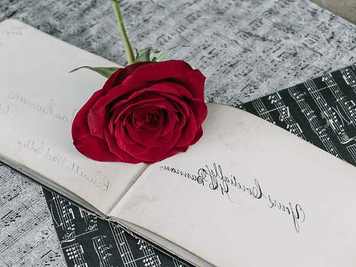 rose red rose on white book page blossom