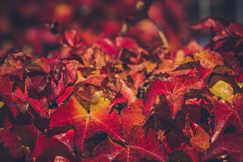 person closeup photo of red maple leaves leaf