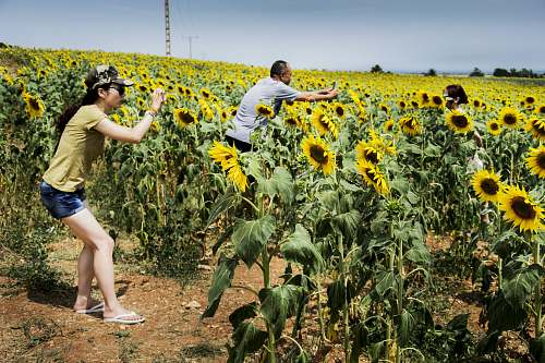 person group of people taking photo of sunflower sunflower
