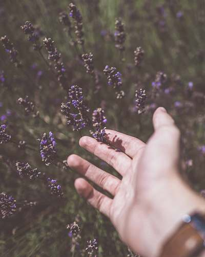 lavender photo of person touching purple cluster flower plant