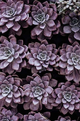 nature purple succulent plants flower