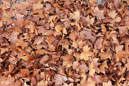 fall brown leaves autumn