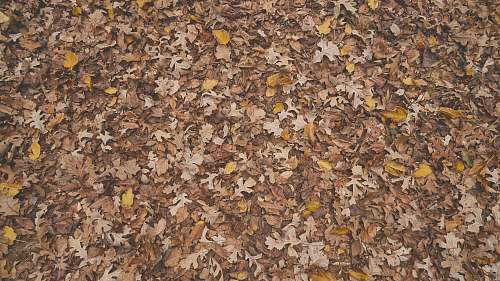ground scattered maple leaves nature