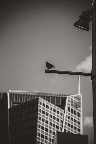 bird black pigeon preaching bar grey