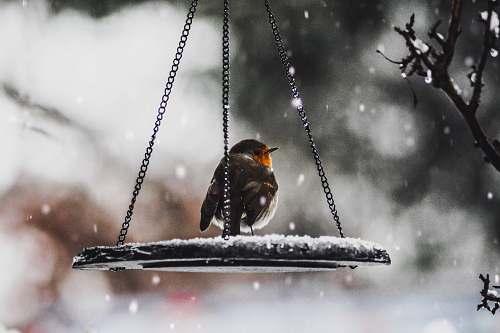 animal bird on scale robin