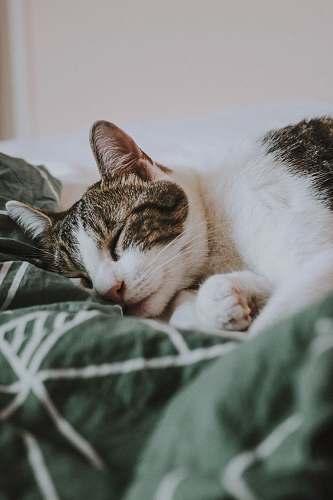 animal silver tabby cat pet
