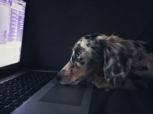 dog brown dog watching on laptop computer pc