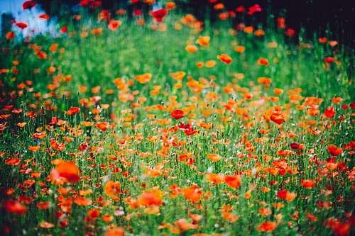 flower red petal flower field