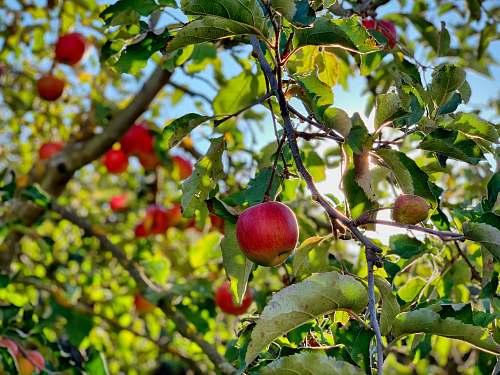 plant apple fruit on tree fruit