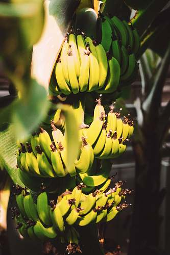 plant banana fruit close up photography fruit