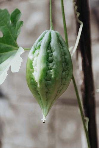 fruit bitter fruit plant