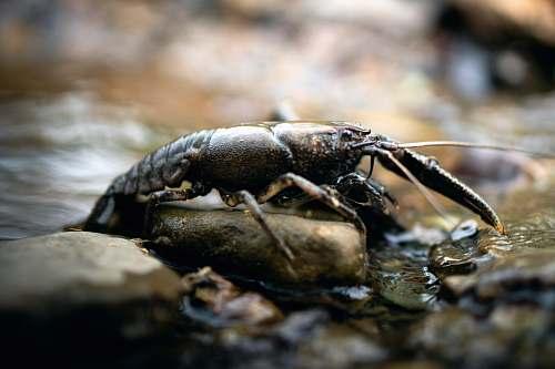 animal black cray fish on rock seafood