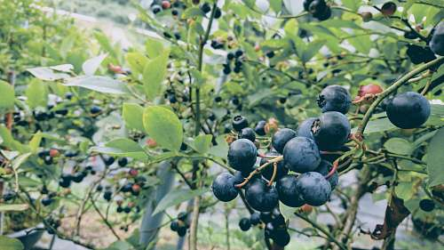 fruit blueberry field blueberry