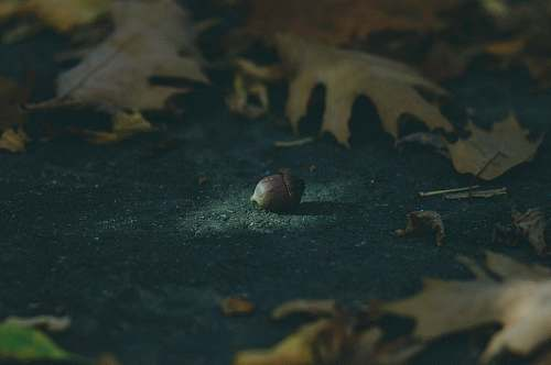 plant brown acorn surrounded by leaves produce
